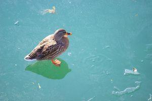 Warum frieren Enten nicht auf dem Eis fest?
