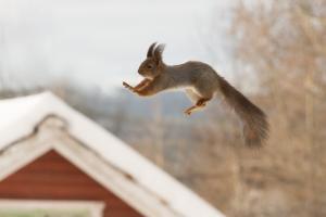 Warum können Eichhörnchen so gut springen?