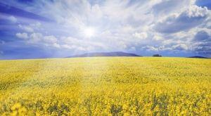 Was lässt die Felder gelb leuchten?